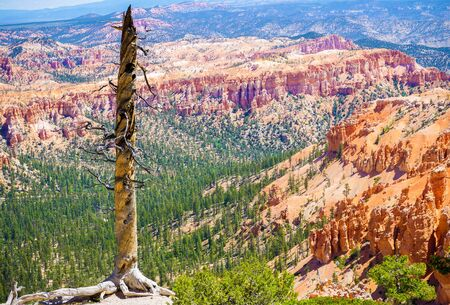plateau point: Old tree in Bryce Canyon national park, Utah, USA