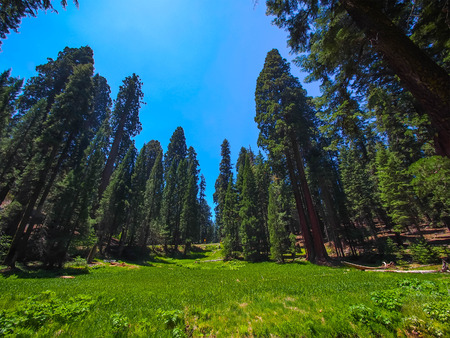 mariposa: Sequoia National Park, USA. The famous big sequoia trees are standing in Sequoia National Park