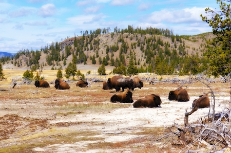 American Bison (Buffalo) in Yellowstone National Park
