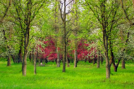 Spring landscape - green field,white and pink cherry trees blossoms  in green park Stock Photo - 4234009