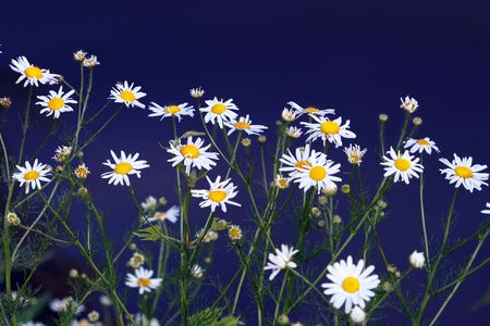 Field of chamomile on blue Stock Photo - 4269329