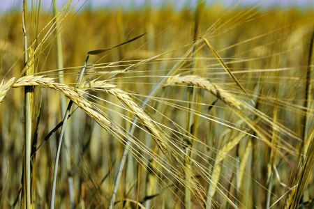 Close up view of the golden wheat before harvest photo