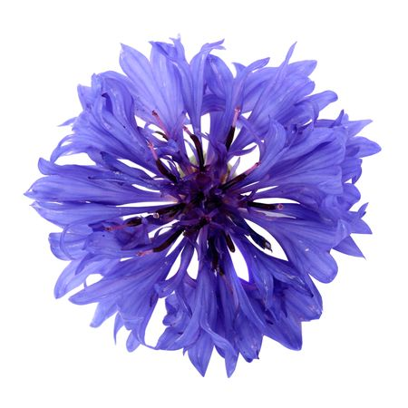 cornflower: Cornflower isolated on a white background Stock Photo