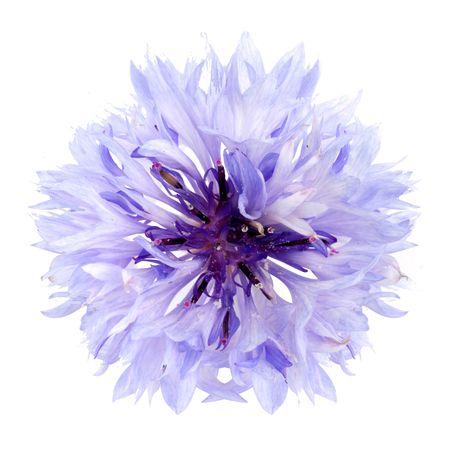 Cornflower isolated on a white background photo