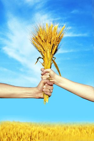 Human and woman  hands holding bundle of the golden wheat ears on a blue sky  background photo