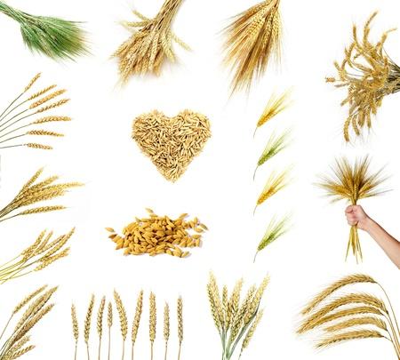cebada: Conjunto de espigas de trigo dorado aisladas sobre fondo blanco  Foto de archivo