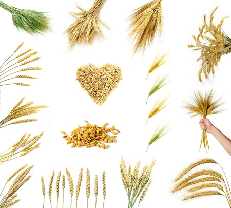 Set of golden wheat ears isolated on white background  photo