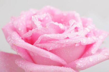 spuria: Close up bellissimo sfondo rosa con gocce d'acqua Archivio Fotografico