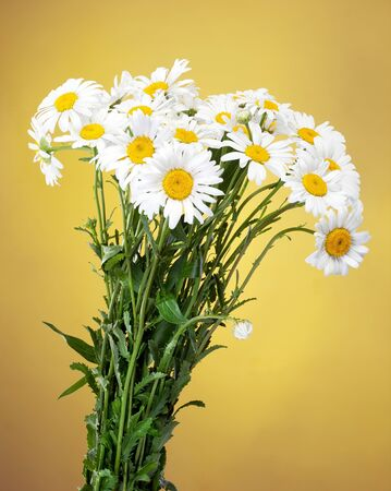 daisie: bouquet of Fresh daisies flowers isolated on yellow background
