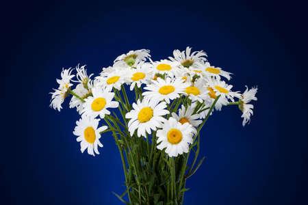 daisie: bouquet di margherite freschi fiori isolato su sfondo blu scuro Archivio Fotografico