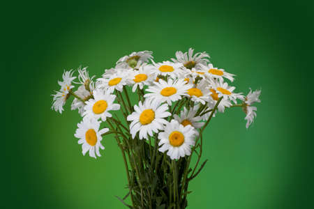 daisie: bouquet of Fresh daisies flowers isolated on green background Stock Photo