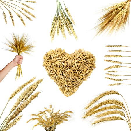 Collections of wheat ears  isolated on white photo