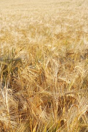 Field of the golden wheat ears  photo