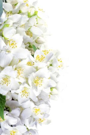 Fresh jasmine  Summer flower