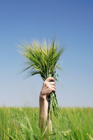 Human hand holding bundle of the green wheat ears on blue sky background photo