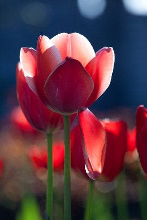 Spring background with fresh  tulips in bloom  photo