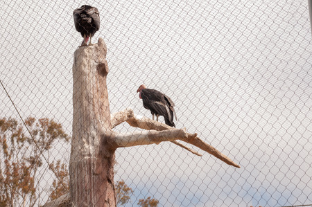 The California condor is a bird belonging to the family of the Catartides, California is the largest flying bird in North America. The Andean condor is the largest raptor in the world and the largest flying bird in South America.