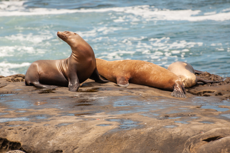 The jolla of san diego. The California sea lion (Zalophus californianus) .Their color varies from brown to brown.