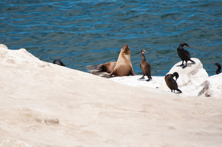The jolla of san diego. The California sea lion (Zalophus californianus) with seabirds.Their color varies from brown to brown.