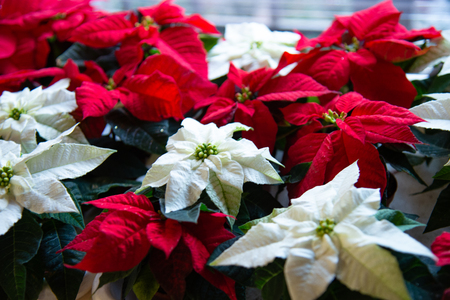 Christmas plant in bloom. Poinsettia in bloom as Christmas decorations. Traditional red and white Christmas stars. Stock Photo