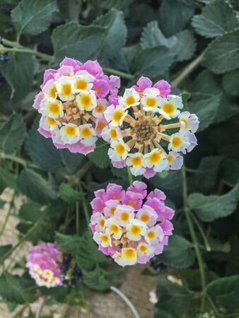 Lantana camara wild flowers on the island of Santorini, Greece. It has a wide range of colors white, yellow, purple. Very beautiful flower.