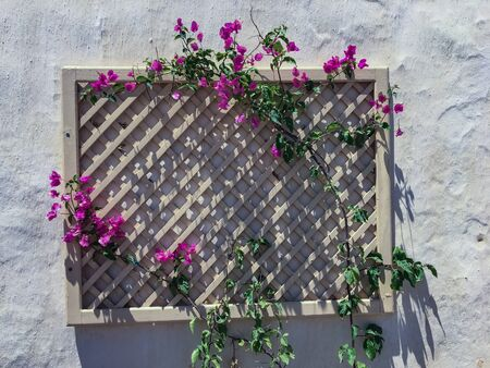 Wooden wall grid flower holder to hang with creepers of bougainvillea flowers. Flower rack wall decoration for flower pots or vines. Stock fotó - 132054980
