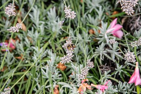 Lavender flowers with bee above. Natural environment