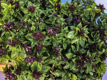 The Greek basil also called compact ball. Aromatic plant in the shape of a spherical bush.