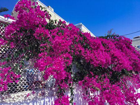 Bunch of purple bougainvillea flowers. Spontaneous flower that grows on the island of Santorini, Greece.