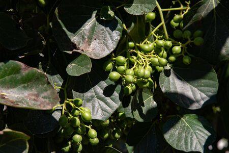 Spontaneous plant of Greek capers. Santorini island, Oia, Greece.