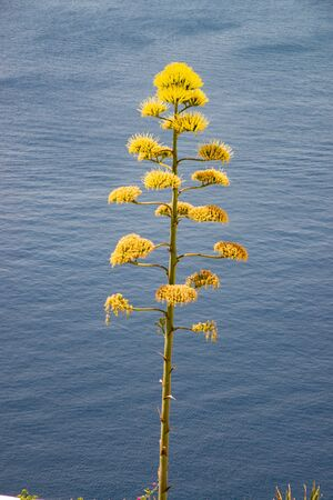 Beautiful succulent plant of Agave flower with spectacular beauty of tentacles. Background of the island of Santorini, Greece, gulf of the caldera.