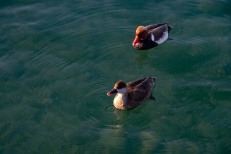 Pair of colorful ducks on Lake Garda, Verona, Italy. Fistione turco (Netta Rufina), or diving duck, with coral red beak and, in the evil, the plumage of the head orange-rust. Stock fotó
