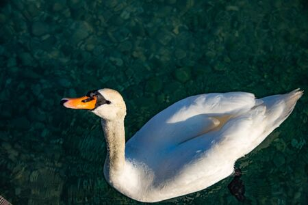 Beautiful white swan on the shores of Lake Garda, Verona Italy. Concept of purity and serenity.