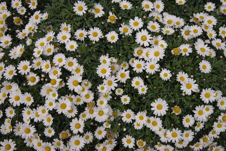 Daisies or flowering daisies. Flowers and leaves spring flowers of this perennial plant with white leaves and the external flowers are ligulate, white and the internal ones are yellow
