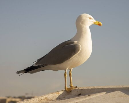 The white seagull called