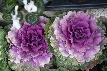Ornamental cabbage, Brassica oleracea, cultivated for gardens and street greenery. The plant has a compact central violet rosette formed by numerous leaves. Stock fotó