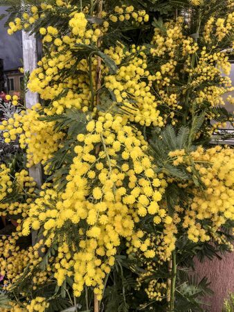 Mimosa flowers potted spring plant. Women's day or Valentine's day.