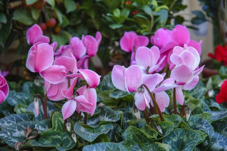 Potted cyclamen plant for sale in a street shop.