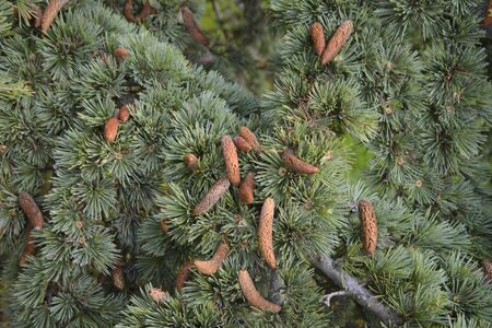 Spruce or spruce pine branch with pine cones. Also called a Christmas tree.