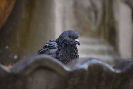 Detail of pigeon sitting on the edge of the city fountain Stock fotó