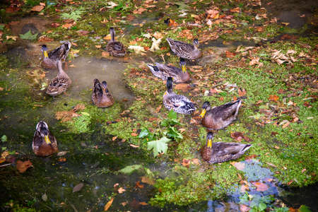 Mallards, ducks in the pond among reflections and green and dry leaves. Concept of autumn in nature.