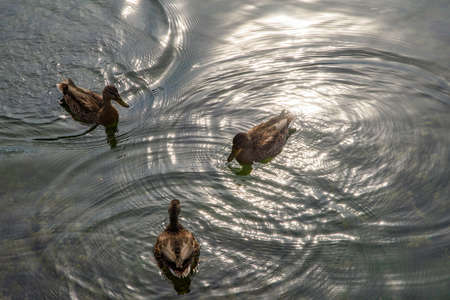 Pond with mallards. Three female ducks