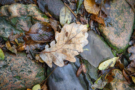 Detail of brown chestnut leaf. Mountain path in autumn with leaves and stones after the rain.
