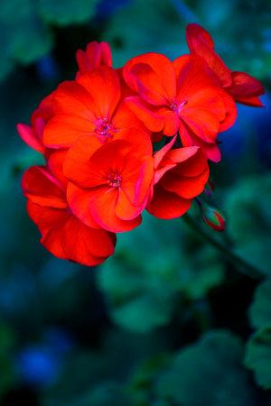 Detail of the flower of the red geranium. Bouquet of pelargonium. Selective focus. Archivio Fotografico