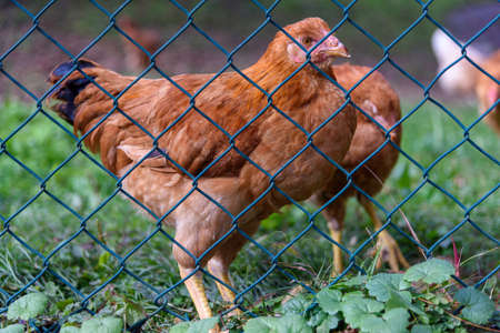 Free range hens in the mountains. Laying chicken outdoors.