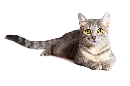 gray cat: beautiful tabby cat lying on white background