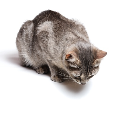 eyes looking down: beautiful tabby cat lying on white background