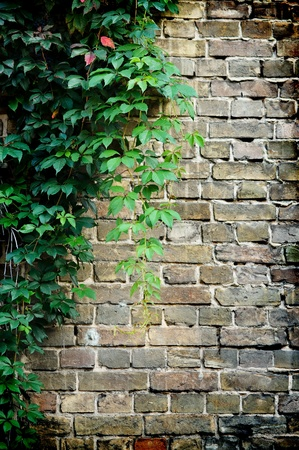 grey brick wall covered in green ivy photo