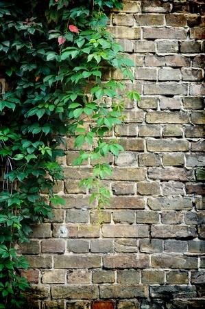 grijze bakstenen muur bedekt met groene klimop