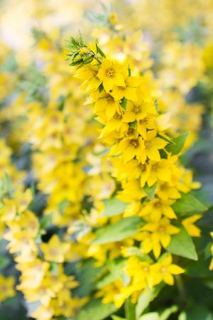 여름 초원 야생화입니다. Lysimachia punctata, 정원 Loosestrife, 노란색 Loosestrife 또는 정원 노란색 Loosestrife, 선택적 포커스 스톡 콘텐츠